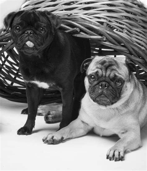 pug palace 6609 best pugs images on