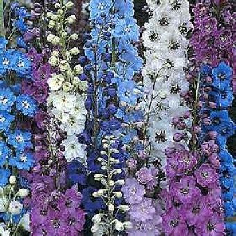 Bunga Kapas Ungu Isi 10 bibit bunga larkspur mix