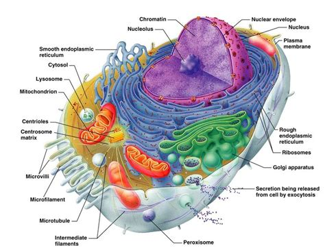 human cell labeled diagram best 25 human cell diagram ideas on human