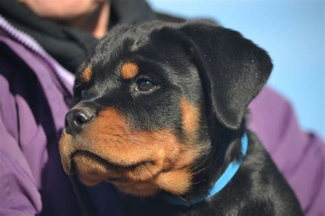 rottweiler rescue ranch with stories just b cause