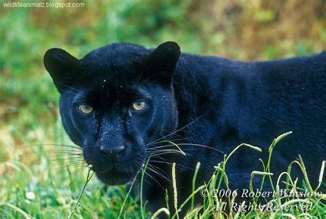 black leopard black leopard panther the wildlife