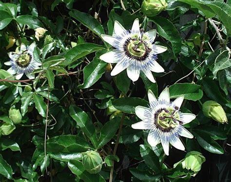 piante ricanti fiorite resistenti al freddo piante ricanti fiorite ricanti piante ricanti