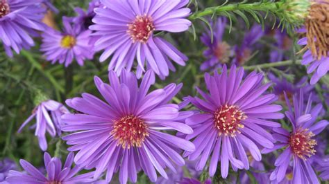 aster flowers wallpapers my note book aster flowers wallpaper album 3 1920x1080 wallpaper