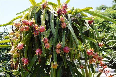 Pot Tanaman Succulent Putih T1310 3 cara menanam buah naga menghasilkan buah lezat penjaga rumah