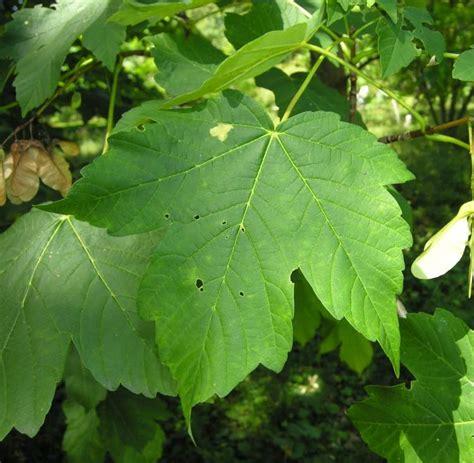 botanischer garten münchen 195 182 stkaukasisk j 195 164 ttel 195 182 nn 395 swedish common name