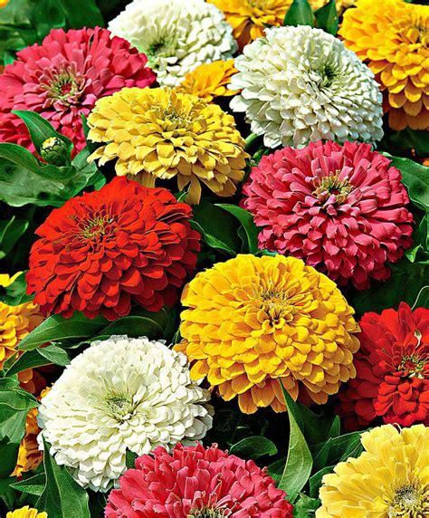 fiori zinnie koop nu bloemzaad zinnia zesty gemengde kleuren bakker