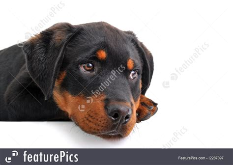 rottweiler sad pets puppy rottweiler stock picture i2287397 at featurepics