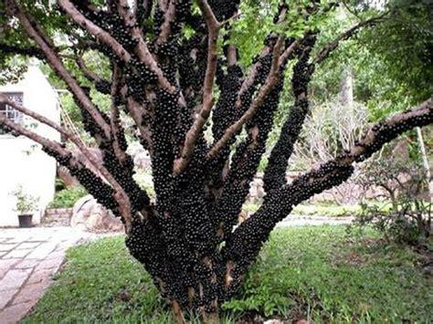 Bibit Jaboticaba Anggur Brasil Jual Bibit Jaboticaba Atau Anggur Brazil Atau Anggur Pohon