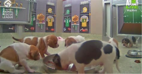 puppy bowl locker room this live feed of the puppy bowl locker room shows you the true meaning of sports