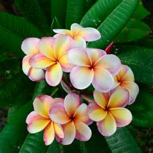 May Flowers In Season - frangipani