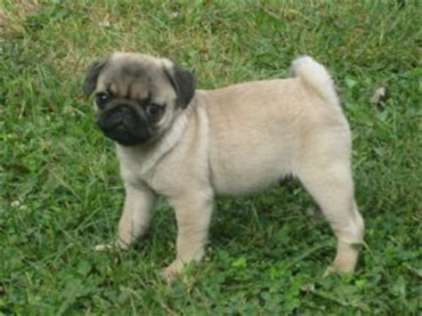 pugs for sale in missouri pug puppies for sale