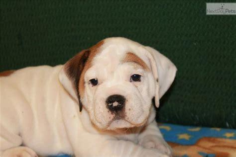 beabull puppies adoption beabull puppy for adoption near fort wayne indiana a0766910 12d2