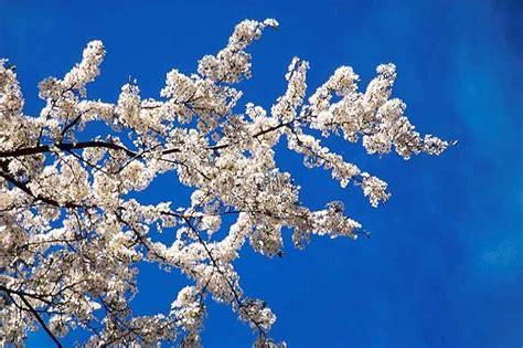 ciliegio fiorito ciliegio concimi e fertilizzanti per drupacee ilsa s p a