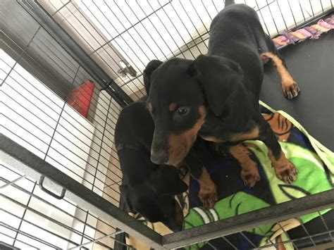 doberman puppies for sale in illinois doberman pinscher puppies for sale chicago il 231932
