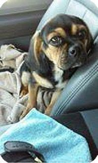 pug puppies for adoption in michigan 25 best ideas about pug beagle mix on puggle puppies boxer beagle mix