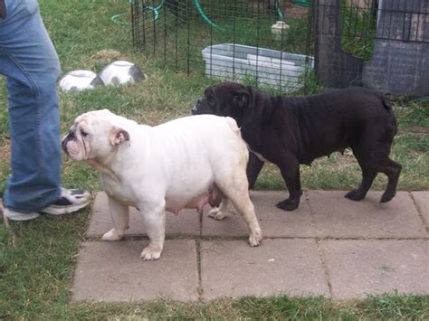 do french bulldogs need c sections english bulldog stud service texas english bulldog puppie