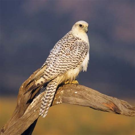 gyrfalcon    kids encyclopedia | children's homework help