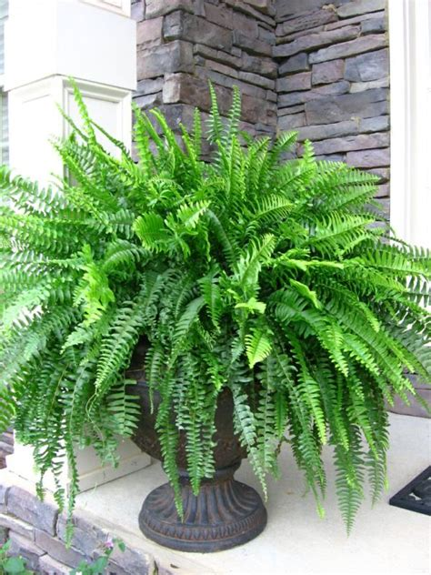 boston fern indoor plant in the white pot stunning indoor plants boston fern curly willow will be quot planted quot into the urn