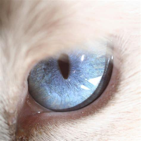 Cat Eye Blue Berkualitas eye macro photographs