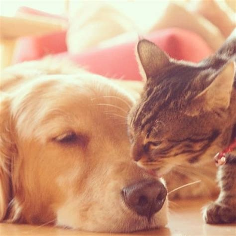cat and golden retriever golden retriever and rescue cat adorable best friends the gossip