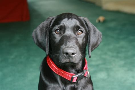 black lab puppies for free file black labrador puppy 2754032769 jpg wikimedia commons