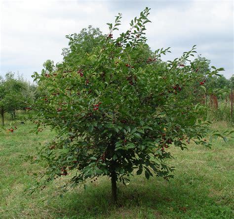 Ver Du Cerisier by Los 225 Rboles G 233 Nero Prunus El Cerezo Datos A Tutipl 233 N