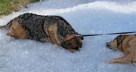 dehydration in dogs heat stroke in dogs dehydration summer heatwave