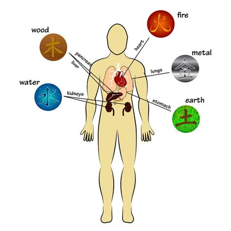 five major organs tcm world care for your low back according to traditional chinese medicine tcm
