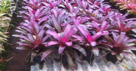 citra taman tukang tanaman hias jual pohon nanas