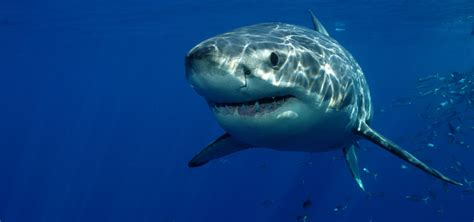 libro the shark in the shark facts interesting information facts about sharks