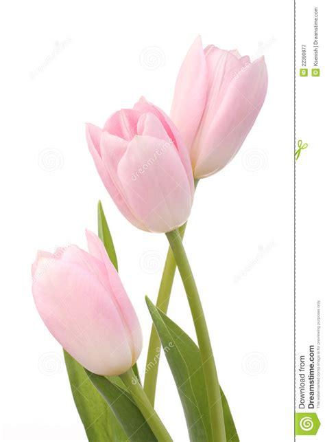imagenes tulipanes rosas tulipanes rosas claros fotograf 237 a de archivo libre de