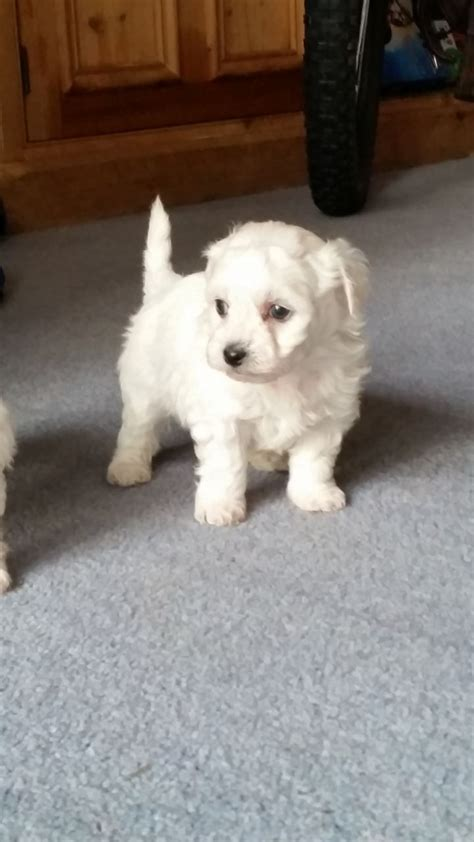 maltichon puppies for sale maltichon puppies for sale longfield kent pets4homes