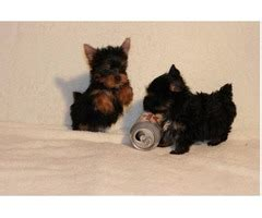 yorkie puppies baton outstanding and yorkie puppies for sale animals baton