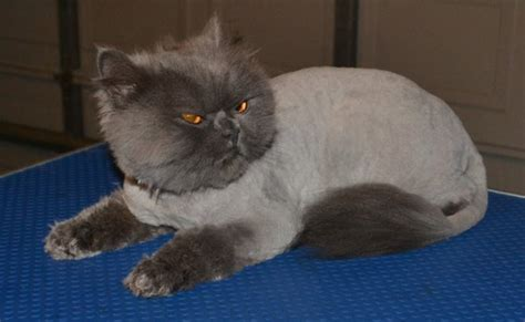 How To Groom A Cat With Matted Fur by Henry