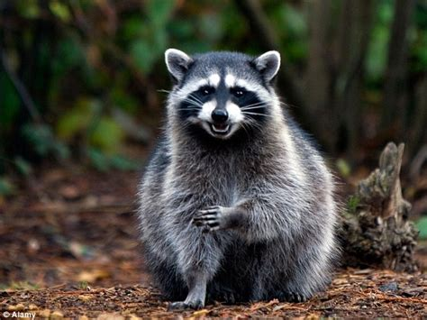 kills raccoon killed raccoon with nail studded board to avenge his cat that was killed by