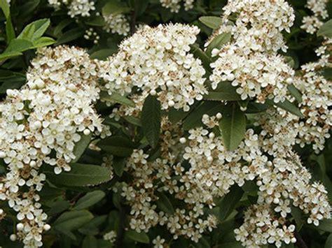 pianta invernale con fiori bianchi pyracantha consigli coltivazione e cura
