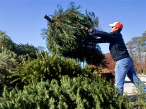 recycling christmas trees in anne arundel county patch