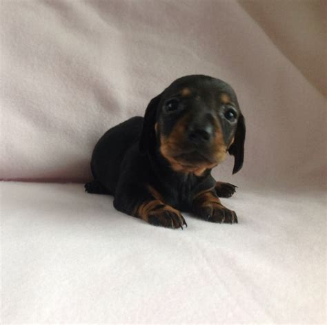 Datsun Puppies by Miniature Dachshund Dogs Pictures To Pin On