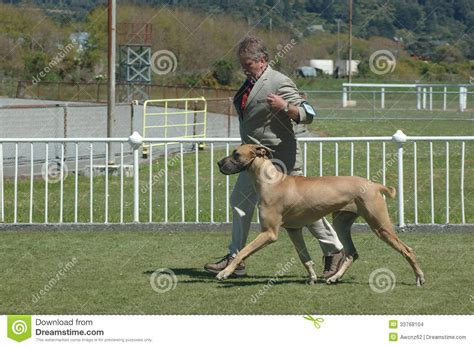 show me pictures of great dane dogs further hypoallergenic miniature great dane on show editorial stock image image 33768104