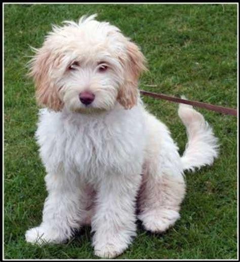 mini labradoodles utah 447 best images about labradoodles on poodles