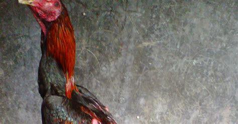Jual Ayam Berkualitas Ayam jual ayam bangkok murah dan berkualitas si rudal terjual ke jakarta