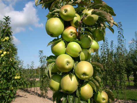 vertical fruit trees plant preview columnar 174 apples part of edible