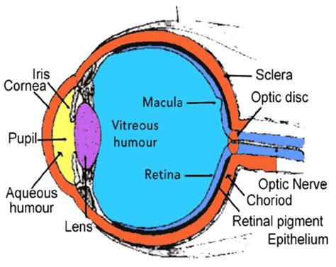 colored part of your eye anatomical structure of human eye