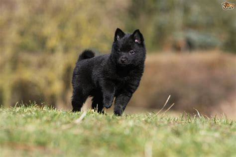 are dogs for you is a schipperke the right for you pets4homes