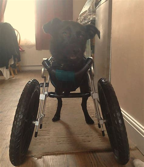 second set of for puppies 1000 images about nat l walk n roll day on wheelchairs day and