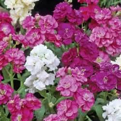 fragrant bedding plants stock autumn fragrance 160 plants small plugs autumn