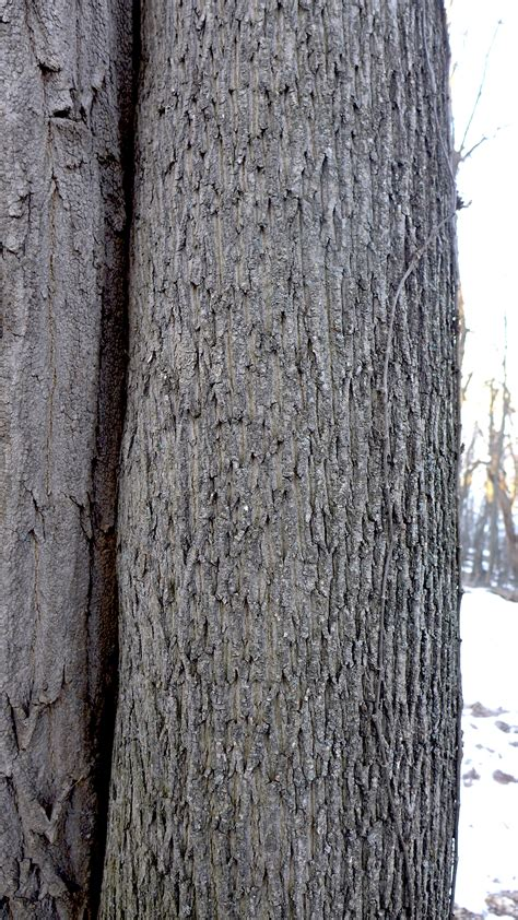 maple tree bark identification winter identification of maple and sugar maple dig it