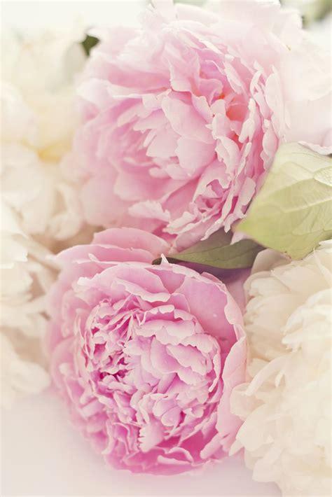 Pink Peonies Www Imgkid Com The Image Kid Has It | white and pink peony www imgkid com the image kid has it