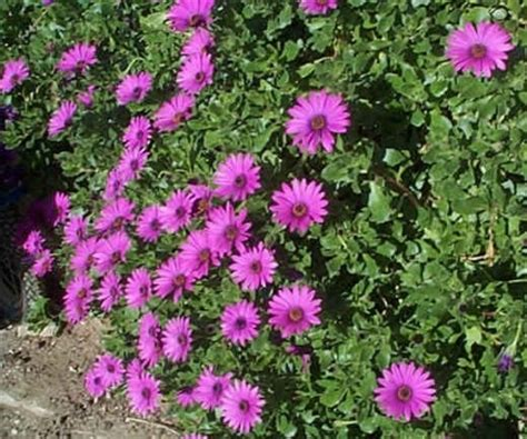 fiori tappezzanti per aiuole piante tappezzanti domande e risposte giardino
