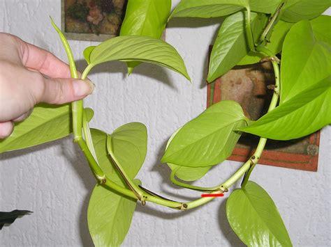 zimmerpflanzen ranken efeutute epipremnum mit stecklinge vermehren 187 majas